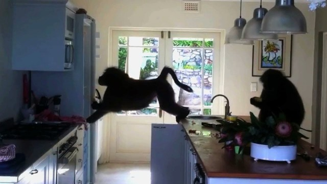 Gangsta Baboons Break Into House And Tear That the place up !