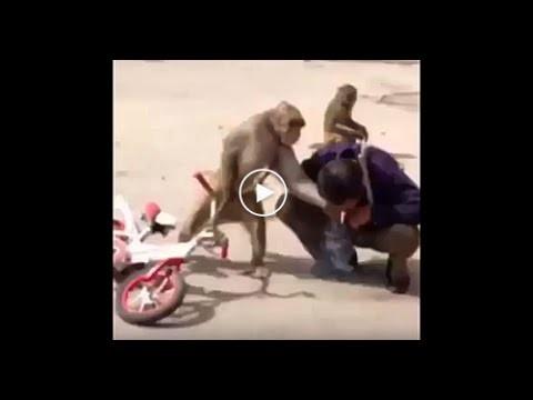 gangsta monkey steals cigarette from man and kicks him